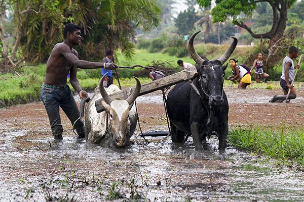 Fermiers malgaches